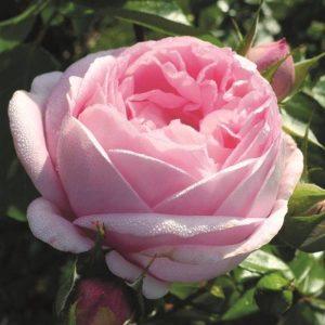 ROSE PINK MARTINI