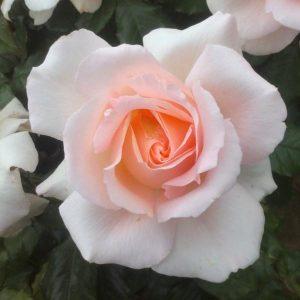 Rose 'Chandos Beauty'