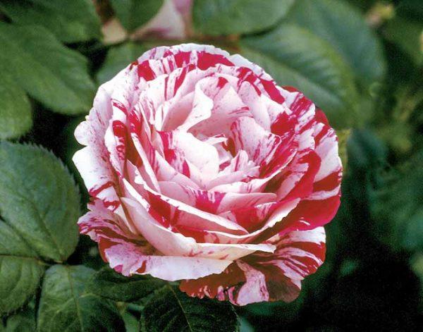 Rosa 'Scentimental'