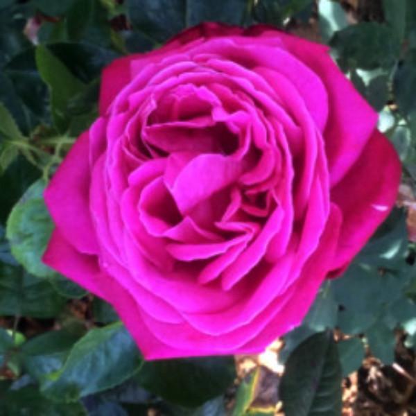 Rosa 'Birthday Boy'