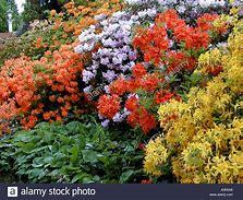 Azalea Knap Hill Varieties